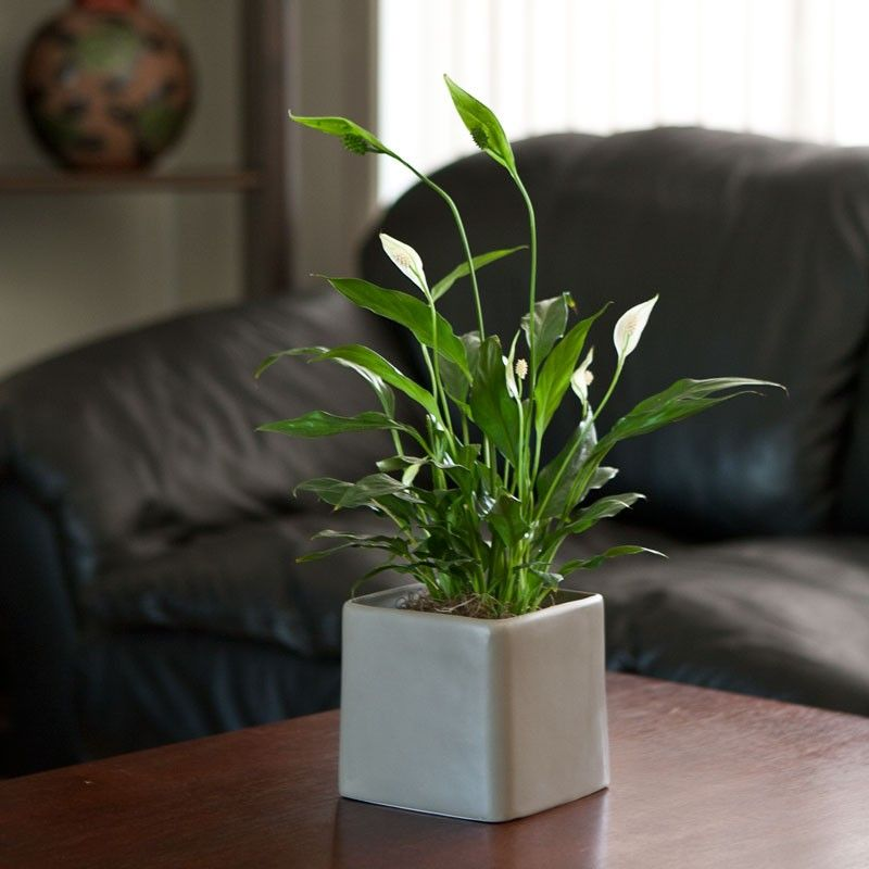 Peace Lily (Spathiphyllium)