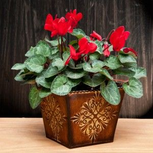 Cyclamen  (Available only when is season)