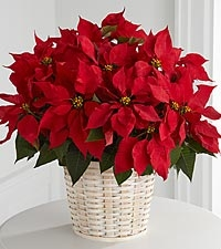Poinsettia (Pot Plant - Large